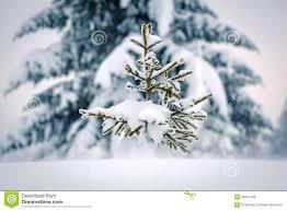 small pine tree royalty free stock photos image 30561438