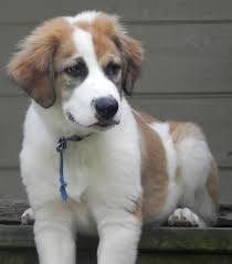 australian shepherd and beagle mix beethoven u0027s web page