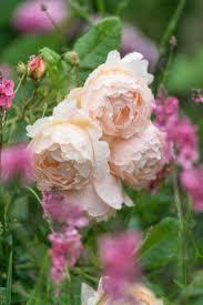 Very Fragrant Plants 194 Best English Roses Images On Pinterest Heirloom Roses