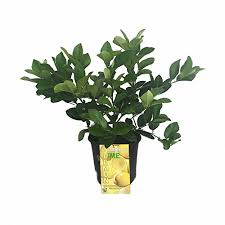 indoor citrus trees for sale indoor citrus and fruit trees