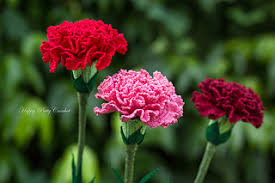 carnation flowers ravelry carnation flower pattern by happy patty crochet