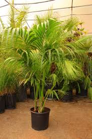 kentia palm u2013 la belle plant nursery