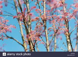 toona sinensis flamingo mahogany flamingo tree with