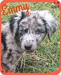 australian shepherd adoption antwerp oh goldendoodle mix meet ace a dog for adoption http