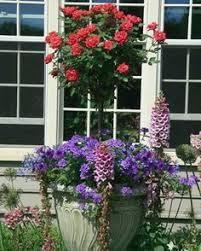 patio tree rose these sturdy thick 20 u0027 u0027 stemmed patio tree