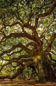 White Oak Tree Bark 120 Best Oak Trees Images On Pinterest Seeds For Sale And White Oak