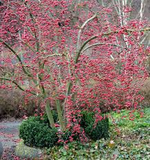 winterflowering garden hazel blossom flowering winter plants