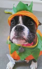 Boxer Dog Halloween Costume 47 Cute Fun Scary Halloween Costumes Boxer
