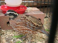 Raising Quail Backyard Snowy Japanese Or Coturnix Quail I Would Love To Get Some