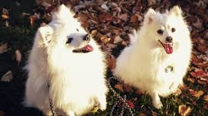 american eskimo dog what do they eat fall in love with the american eskimo dog rover com