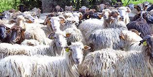 chambre d agriculture de haute corse sécheresse vives inquiétudes de l interprofession laitière ovine