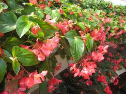 dragon wing pink angelwing begonia begonia hybrid proven