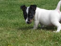 australian shepherd chihuahua mix jack chi jack russell terrier and chihuahua mix spockthedog com