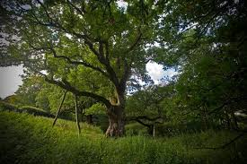 top 10 ancient and heritage trees in scotland scotland now