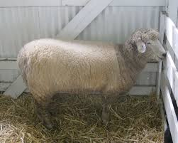 romney sheep wikipedia