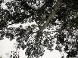 native hawaiian plants for sale tree of heaven hawaiian sandalwood shannon wianecki
