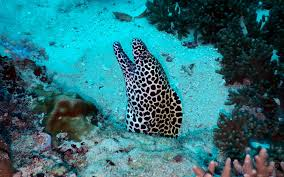 honeycomb moray eel facts and photographs seaunseen