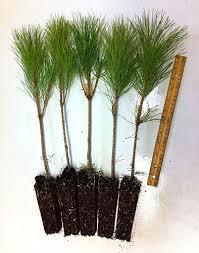 pine tree transplants for sale retail wholesale