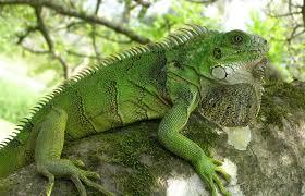 imágenes de iguanas verdes datos que debes saber sobre las iguanas verdes el arca de pet