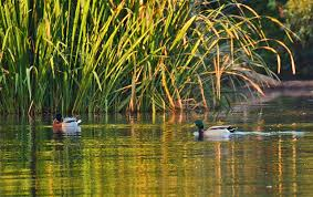 duck breeding 2016 report likely a mix of good and bad news