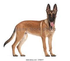9 month old belgian malinois belgian shepherd dog isolated on stock photos u0026 belgian shepherd