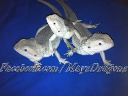 morph bearded dragon super rare facts closest
