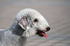 bedlington terrier guide bedlington terrier breed information pet365