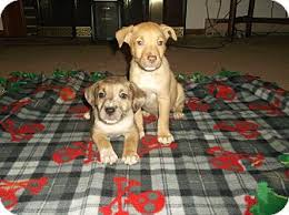 australian shepherd lab mix puppy aussie mix puppies adopted puppy hampton va australian