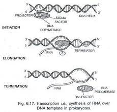 dna transcription process and mechanism of dna transcription