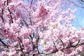 Cherry Blossom Map Where To Go In Kimono Shinjuku Sendagaya Modern Kimono