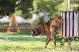 boxer dog kidney problems abnormal kidney development in dogs canine renal dysplasia
