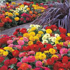 Cheap Flower Seeds - online get cheap flower zinnia aliexpress com alibaba group