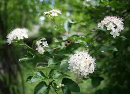 physocarpus opulifolius wikipedia