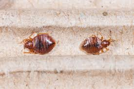 Bed Bug What Bed Bugs Look Like And Helpful Advice Terminix