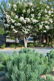 pretty white tree among succulents and other low water plants in