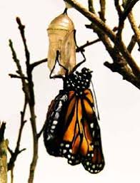 monarch butterfly emergence from crysalis