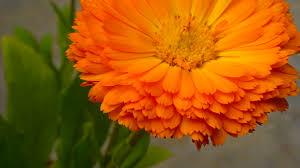 Calendula Flowers Free Stock Photo Of Beautiful Flowers Calendula Flower Cool