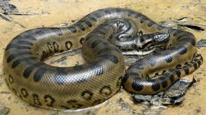 vidio film ular anaconda image anaconda jpg survivor malakal wiki fandom powered by wikia