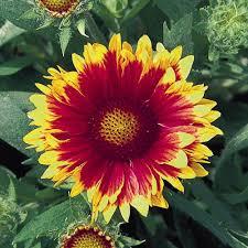 arizona flowers gaillardia seeds 10 gaillardias perennial flower seeds