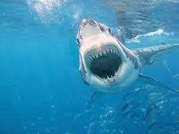 hammerhead shark attack wallpaper