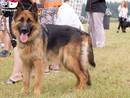 top most dangerous dogs in the world with cnologists comments