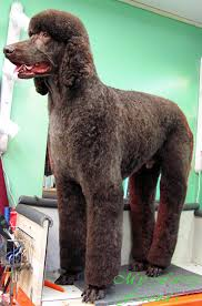 poodles long hair in winter grooming your furry friend does a poodle have to be groomed like a