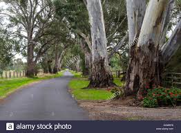 the large trunks of river red gum eucalyptus trees lining a