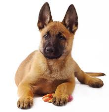 belgian sheepdog size and weight belgian malinois breed information and characteristics puppyspot