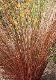 ornamental grass maas nursery