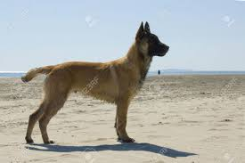 belgian sheepdog clipart german shepherd malinois stock photos royalty free german