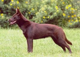 what does a australian shepherd look like australian kelpie wikipedia