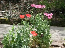 family garden chinese chinese medicinal herb garden uc botanical garden