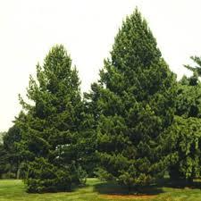 spruce pine trees