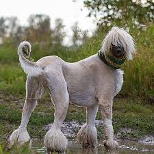 afghan hounds for adoption get to know the afghan hound exotic and elegant hunter